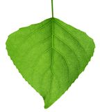Green leaf. Macro. Stock Image