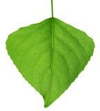 Green leaf. Macro. Green leaf on the white background. Macro Stock Image