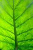 Green leaf macro. Background of nice Royalty Free Stock Photo