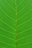 Green leaf macro Royalty Free Stock Photo