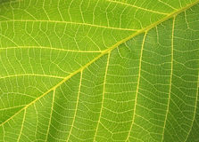 Green leaf. macro Royalty Free Stock Image