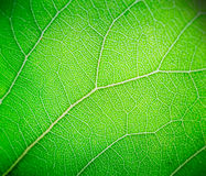 Green leaf macro background Stock Photo