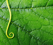 Green leaf macro Royalty Free Stock Photography