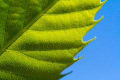 Green leaf macro Royalty Free Stock Images