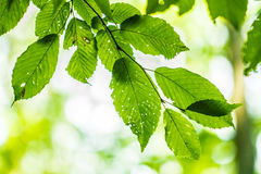 Green leaf. In macro, close up Royalty Free Stock Images