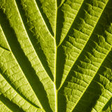 Green leaf macro. With deep shadows from viens Stock Images