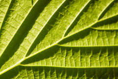 Green leaf macro. With deep shadows from viens Royalty Free Stock Photo