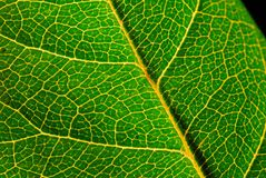 Green leaf macro, detail veining royalty free stock photography