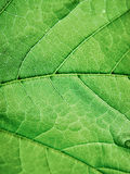 Green leaf macro Royalty Free Stock Photos