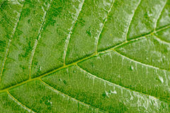 Green Leaf Macro Stock Images