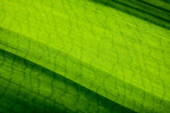 Green leaf macro shot. Macro shot of green striped leaf Royalty Free Stock Image
