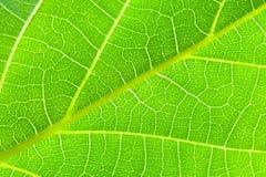 Green leaf - macro Royalty Free Stock Image