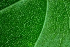 Green leaf macro Royalty Free Stock Image