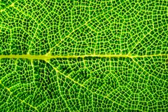 Green leaf macro. Close up of vein. Green leaf macro texture. Structure of veins close up Stock Photography
