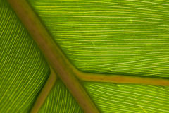 Green Leaf Macro. Green Leaf Vein Macro Shot stock photos