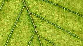 Green leaf macro and veins details. Ecology concept background. Royalty Free Stock Images