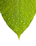 Green leaf macro. With water drops Stock Photo