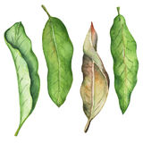 Green leaf of mango watercolor illustration. Leafy clipart on white background. Stock Images
