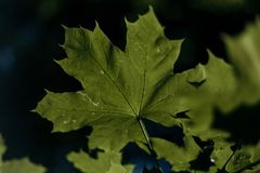 Green leaf maple. Close-up of green leaf of a maple grows on a tree on a blurred background close-up stock photo
