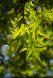 Green leaf of Maple Stock Photos