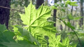 Green leaf of a maple the lit with a bright sun, close up.  stock video footage