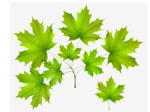 Green leaf maple and maple branch Stock Image