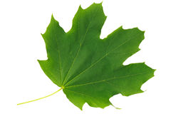 Green leaf maple on white background Royalty Free Stock Images
