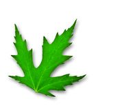 Green leaf of mapple isolated Stock Images