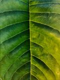 Green leaf middle symmetry. Veins Stock Image