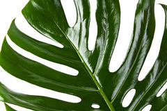Green leaf of Monstera Royalty Free Stock Photos