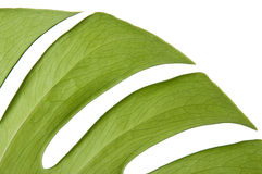Green leaf of Monstera Royalty Free Stock Image