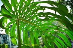 Leaf of Monstera Deliciosa. Green leaf of Monstera Deliciosa Royalty Free Stock Image