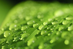 Green leaf with morning dew drops. Royalty Free Stock Photography