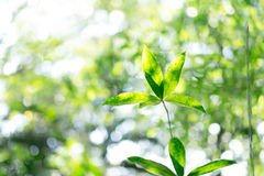 Green leaf in morning on nature background. Fresh Green leaf in morning on nature background Royalty Free Stock Photo