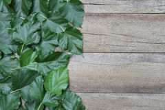 Green leaf of Mulberry placed on the wooden background. Royalty Free Stock Photography