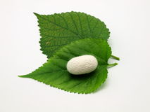 Green leaf of mulberry and silkworm Royalty Free Stock Image