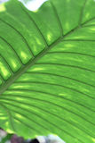 Green leaf in natural setting Royalty Free Stock Images