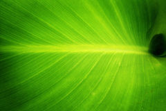 Green leaf, nature. Green colored leaf close up Stock Images