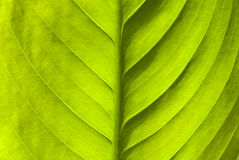Green leaf nature background. Natural texture of plant in close-up Royalty Free Stock Photos