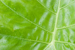 Green leaf nature background. Natural texture of plant in close-up stock images