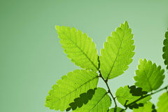 Green leaf nature. Fresh nature photo with green leaves Royalty Free Stock Photography