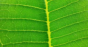 Green, leaf, nature, greenleaf, natural, tree,texture. Green leaf from the nature Royalty Free Stock Photo