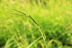 Green, leaf, nature, natural, rice bacground. Green field of rice ,natural greenleaf Stock Images