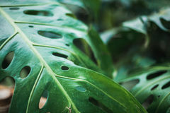 Green leaf nature tropic. Green leaf nature background tropic Stock Photos