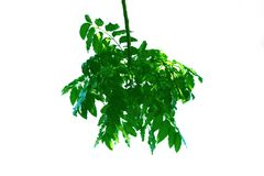 Green leaf of Neem tree style and isolated on white background. royalty free stock photos