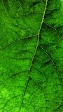 Green leaf Royalty Free Stock Image