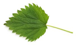 Green leaf nettle. On a white background stock images