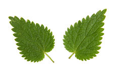 Green leaf of  nettle isolated on white background Royalty Free Stock Photos