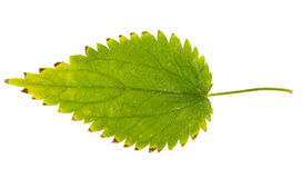 Green leaf of  nettle isolated on white background Royalty Free Stock Photo
