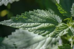 Green leaf of nettle. Young shoots. Close Texture. Summer. Close-up stock image